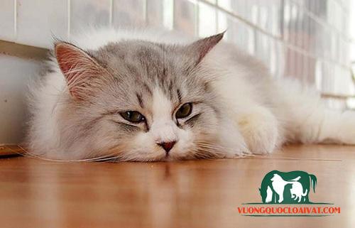mèo ăn cơm bị tiêu chảy