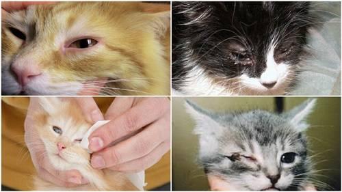 mèo bị viêm mắt có lây không