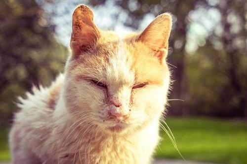 Phòng ngừa bệnh ghẻ, rụng lông ở mèo