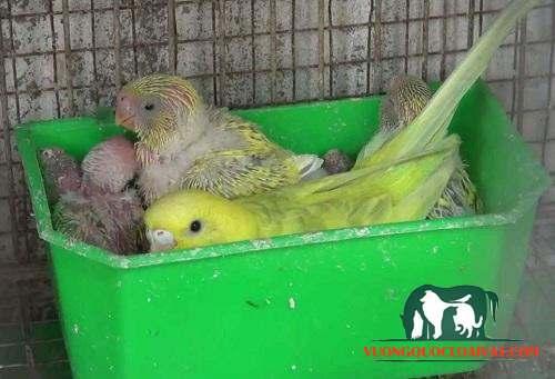 tổ chim yến phụng