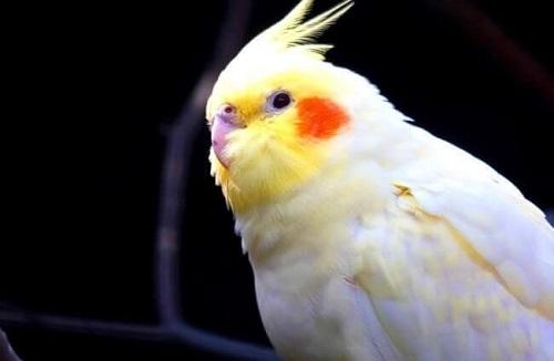 Vẹt cockatiel