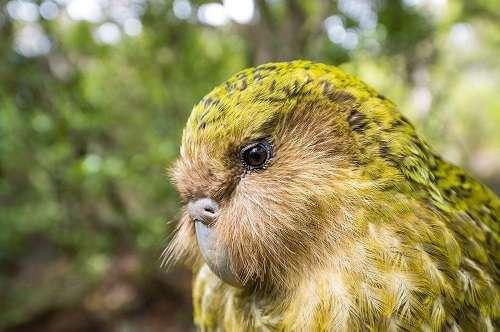 Vẹt kakapo