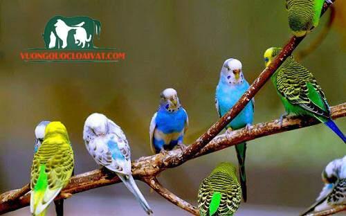 thức ăn cho chim yến phụng