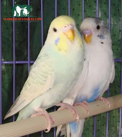 chim yến phụng hót