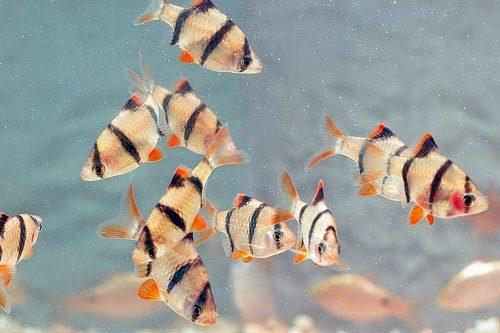 cá tứ vân sinh sản
