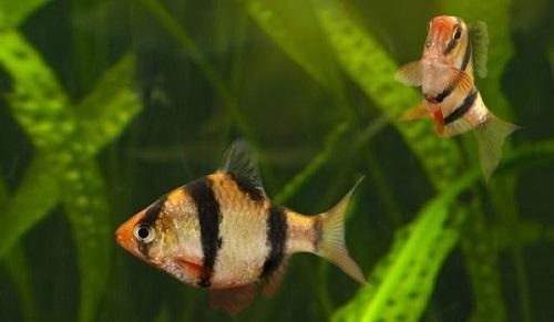 cá tứ vân nuôi chung với cá nào