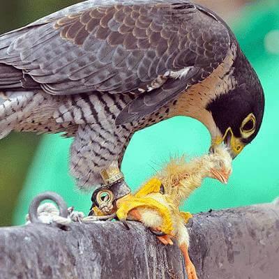 chim cắt săn mồi