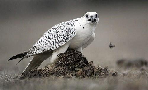 chim cắt lớn