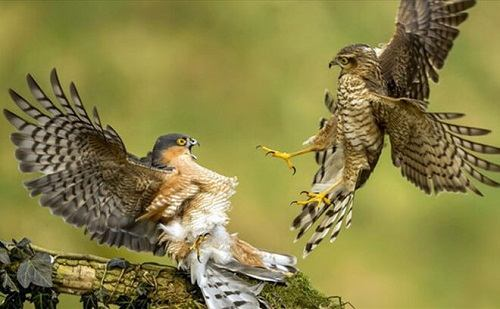 chim cắt việt nam
