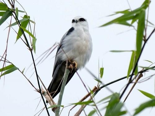 chim diều hâu trắng