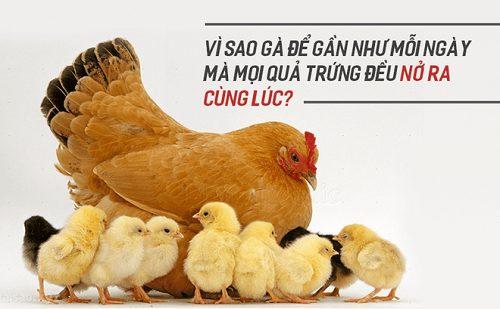 ấp trứng gà ri