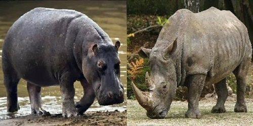 hà mã và tê giác