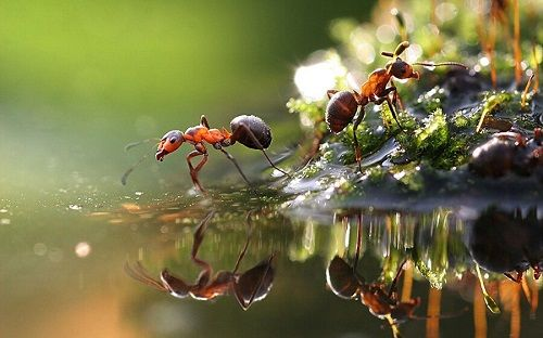 kiến lửa
