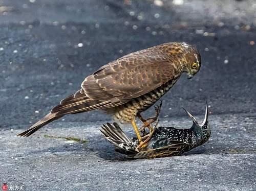 mua chim cắt