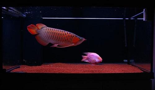 cá huyết rồng đỏ