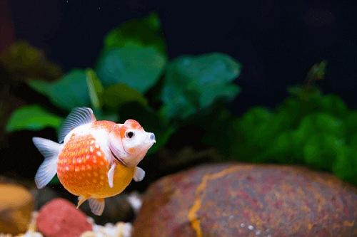 cá ping pong ngọc trai