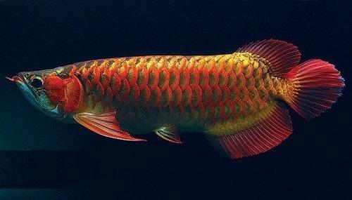 cá huyết rồng phong thủy