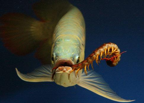 Cá Ngân Long ăn gì?