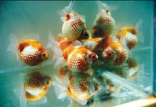 cá vàng ngọc trai nữ hoàng