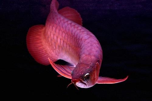 cá rồng đỏ lên màu