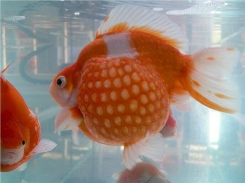 cá vàng ngọc trai