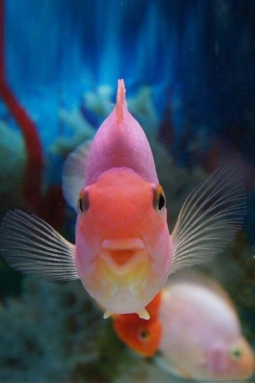cách nuôi cá hồng két lên màu