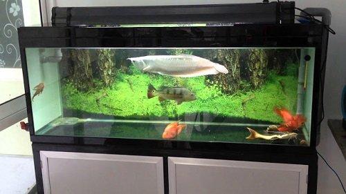 bể nuôi cá rồng bạch kim