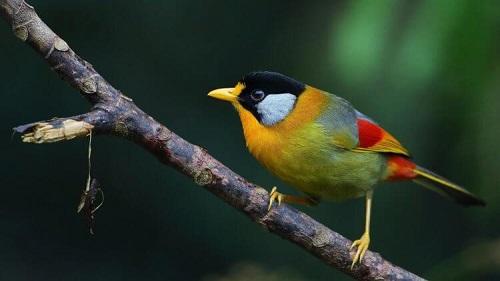 chim ngũ sắc sinh sản