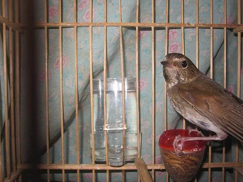 cách nuôi chim tiểu mi