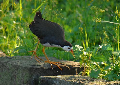 chim quốc ăn mồi gì