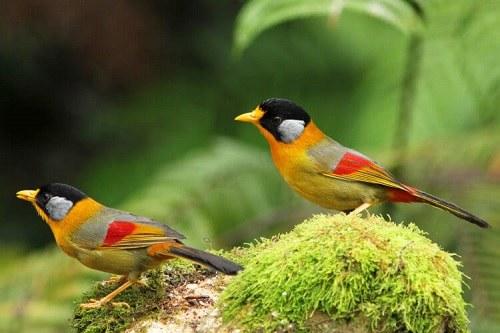 chim ngũ sắc bao nhiêu tiền