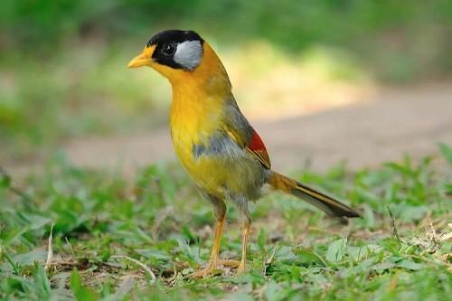 chim ngũ sắc đực