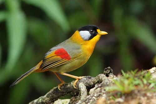 chim ngũ sắc hót