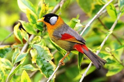chim ngũ sắc