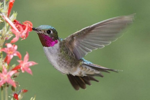 chim ruồi ở việt nam