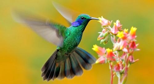 Chim ruồi phía bắc dãy Andes