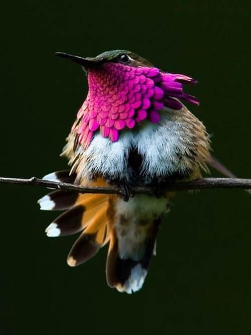Chim ruồi phía nam dãy Andes