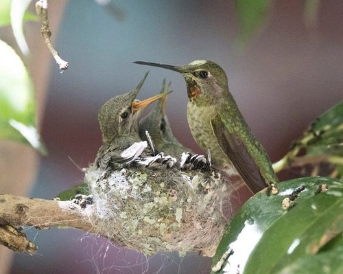 chim ruồi sinh sản