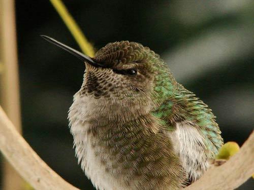 Chim ruồi vùng Colombia