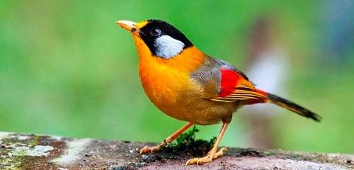 chim ngũ sắc ăn thức ăn gì
