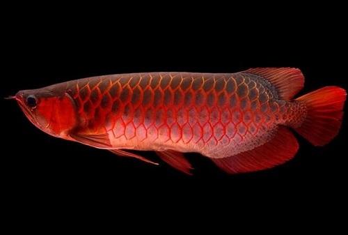 cá huyết rồng