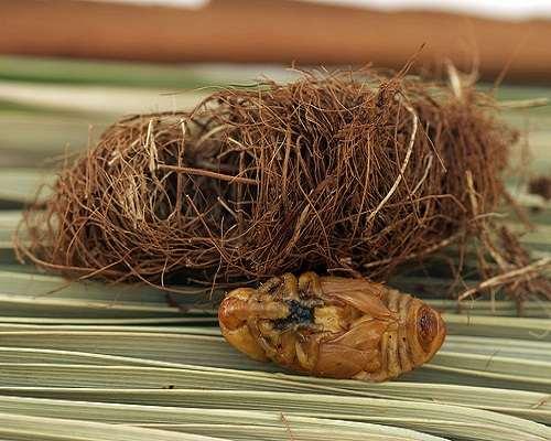 nhộng đuông dừa