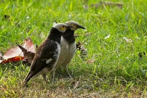 chim cưỡng sinh sản