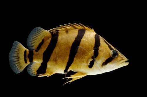 Cá hổ Thái