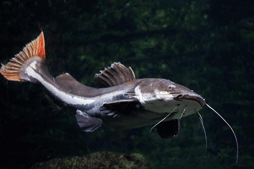 cá hồng vĩ mỏ vịt