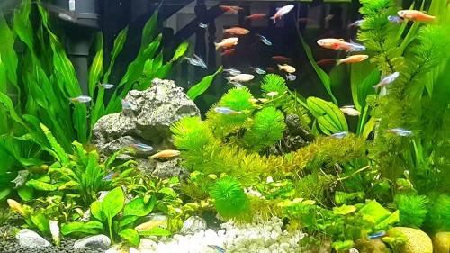 Cá neon nuôi chung với cá nào
