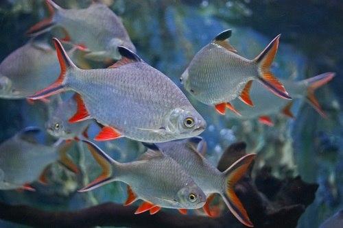 cá kim sơn nuôi chung với cá nào