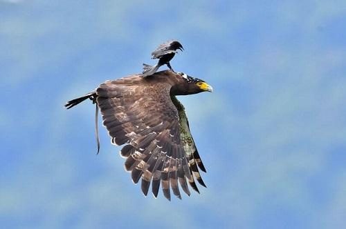 cách nuôi chim chèo bẻo con