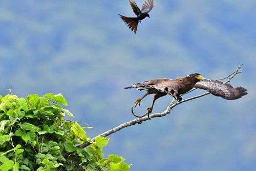 tiếng chim chèo bẻo