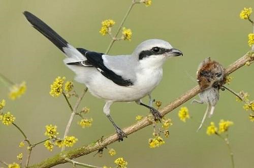 chim bách thanh ăn gì